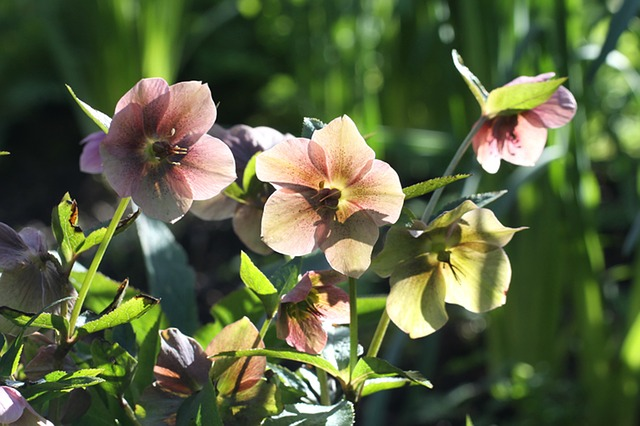 čemeřice květina